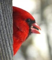 Cardinal_with_Seed.jpg