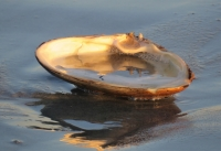 Clam_Shell_Reflection_Jane_Rossman.jpg