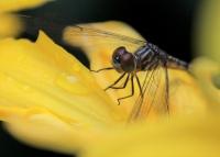 Dragonfly-JRossman.JPG
