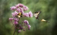 Butterfly_Trio_DawnDingee.jpg