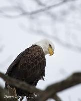 Adult_eagle_sitting_in_tree.jpg