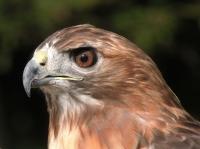 DSCN4780-Hawk_Portrait.jpg