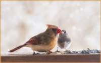 Female_Cardinal_DDingee.jpg