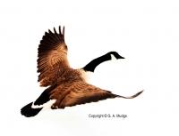 Flying_Goose.jpg