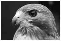 Hawk-eyed.jpg