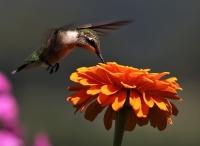 IMG_6476_Hummingbird.jpg