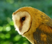 P1010865__Barn_Owl_Profile.jpg