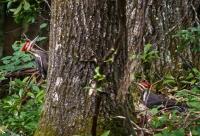 Woodpecker-6999Double_Piliated__HCCNews.jpg