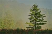 Lone_Pine_in_Fog_email.jpeg