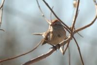 American_Tree_Sparrow_Helen_Baldwin.jpg