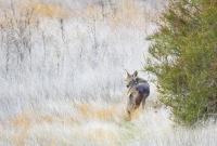 Coyote__DDingee.jpg