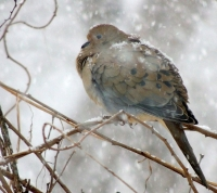 DSCN8645_Winter_Mourning_Dove.jpg