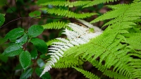 White-Fern_Raphael-Swift.jpg