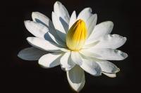 Water_Lily_Blossum_dawndingee.jpg
