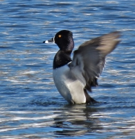 IMG_3817_RING-NECKED_DUCK_JRossman.jpg
