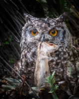 Spotted_Eagle_Owl.jpg