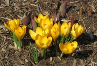 IMG_6922_March_Crocus.jpg