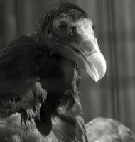 vulture_head.jpg