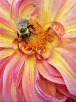 DSCN9882__Bee_on_Dahlia_28229.jpg