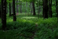 Early_Summer_Woods.JPG