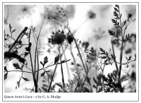 Queen_Anne_s_Lace_-_2_by_G__A__Mudge.jpg