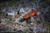 Red_Salamander.jpg