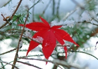 IMG_2012_Wintery_Red_Leaf.jpg