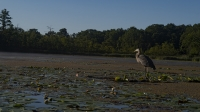 Heron_on_Stissing_Lake_by_Steven_Goldberg.jpg