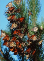 Migrating_Monarchs_by_Bert_Schmitz.jpg
