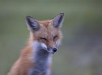 Precious_Fox_DawnDingee.jpg