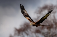 Red_Kite_-_Ian_Peters_281_of_129.jpg