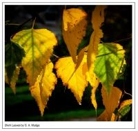 Birch_Leaves.jpg