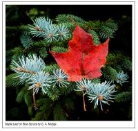 Maple_Leaf_on_Blue_Spruce.jpg