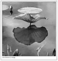 Lotus_Dance.jpg