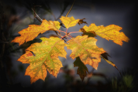 NH_Autumn_Leaves_DawnDingee.jpg