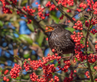 The_Blackbird_and_the_Berry_-_Ian_Peters_281_of_129.jpg