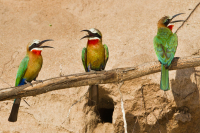 048_White_Fronted_Bee_eaters_on_Branch.jpg