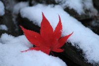 Early_Snow--_Red_and_White.jpg