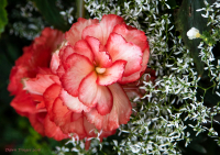 Flower_in_Fairbanks_AK_dawndingee.jpg