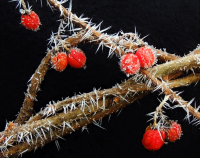 wCDSCN5795_Red_and_White--Frosty_Berries.jpg