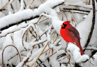 wDSCN8335__Cardinal_Bright2C2C2CRed_on_White_.jpg