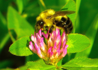 Bee_on_Clover_JRossman.jpg