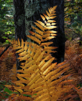 DSCN9725_Golden_Ferns_JRossman.jpg