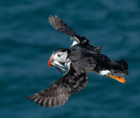 Puffins_with_Sand_eels_Coaster-9857-2.jpg