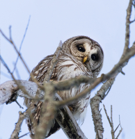 Barred_Owl_on_the_Rail_Trail_DawnDingee.jpg