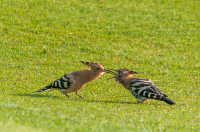 Hoopoe_feeding_young_-_Ian_Peters.jpg