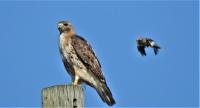 IMG_7899_Don_t_Look_Now--RT_Hawk_and_Mockingbird.jpg