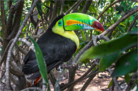 Keel_Billed_Toucan_by_Bert_Schmitz.jpg