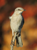 Mocking_Bird_--Jane_R.jpg