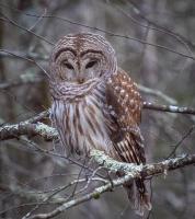 Owl_LazloGyorsok.jpg